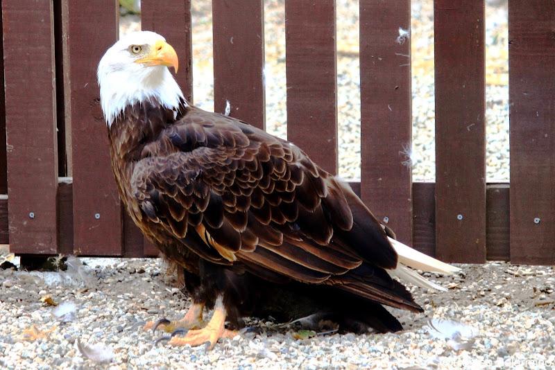 American Bald Eagle Santa Catalina Island
