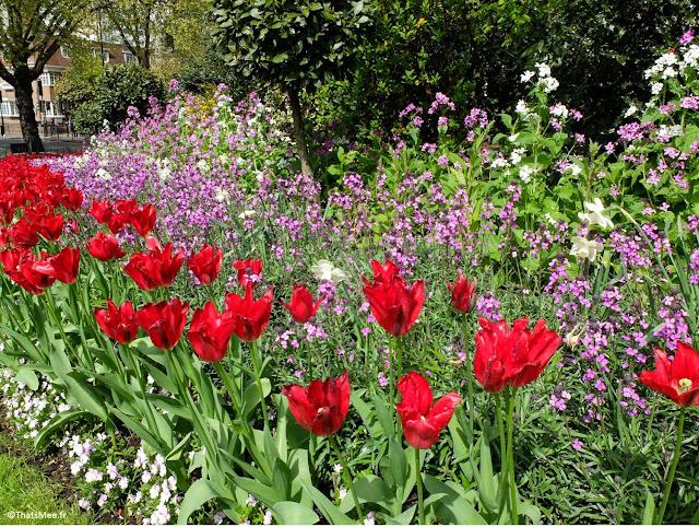 Londres Hyde Park au printemps fleurs tulipe parterre côté Queensway et Bayswater