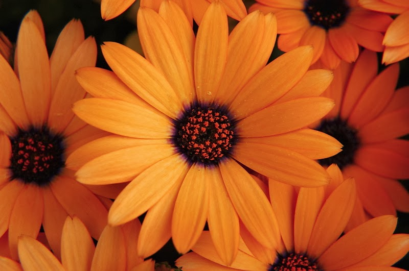 Orange Flowers Wallpapers Beautiful Flowers Wallpapers