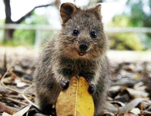 """Marsupial conhecido como """"Quokka"""" segurando uma folha seca"""