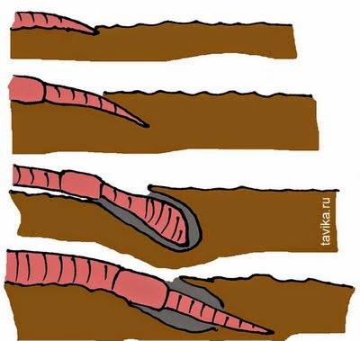 схема движения дождевого червя