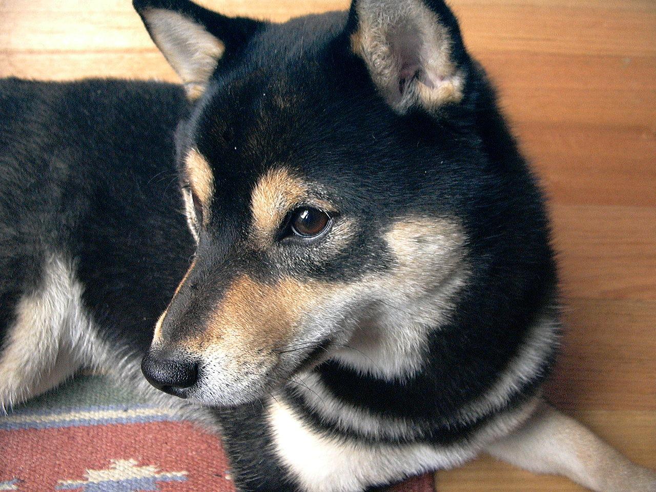 Japan - It's A Wonderful Rife: Japanese Dog: The Shiba Inu