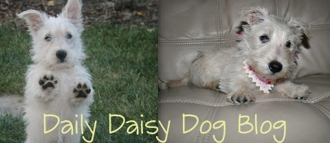 Daisy the Scottie