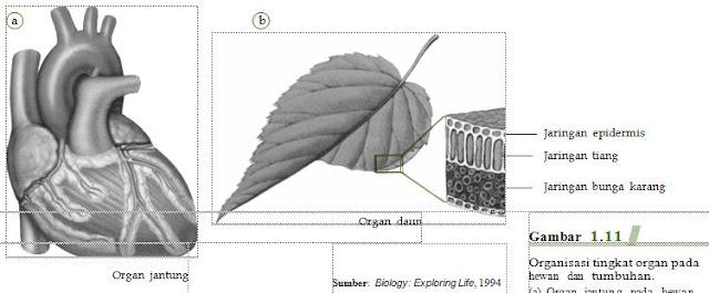 Organisasi tingkat organ pada hewan dan  tumbuhan. (a) Organ jantung pada hewan dan  (b) organ daun pada tumbuhan.
