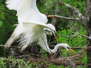 Eager Egrets: Nature at its Most Natural