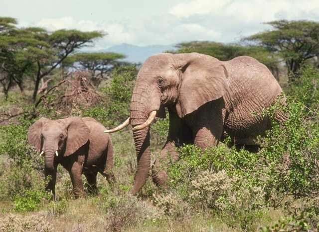 عالم الحيوان فيل الغابة الأفريقي