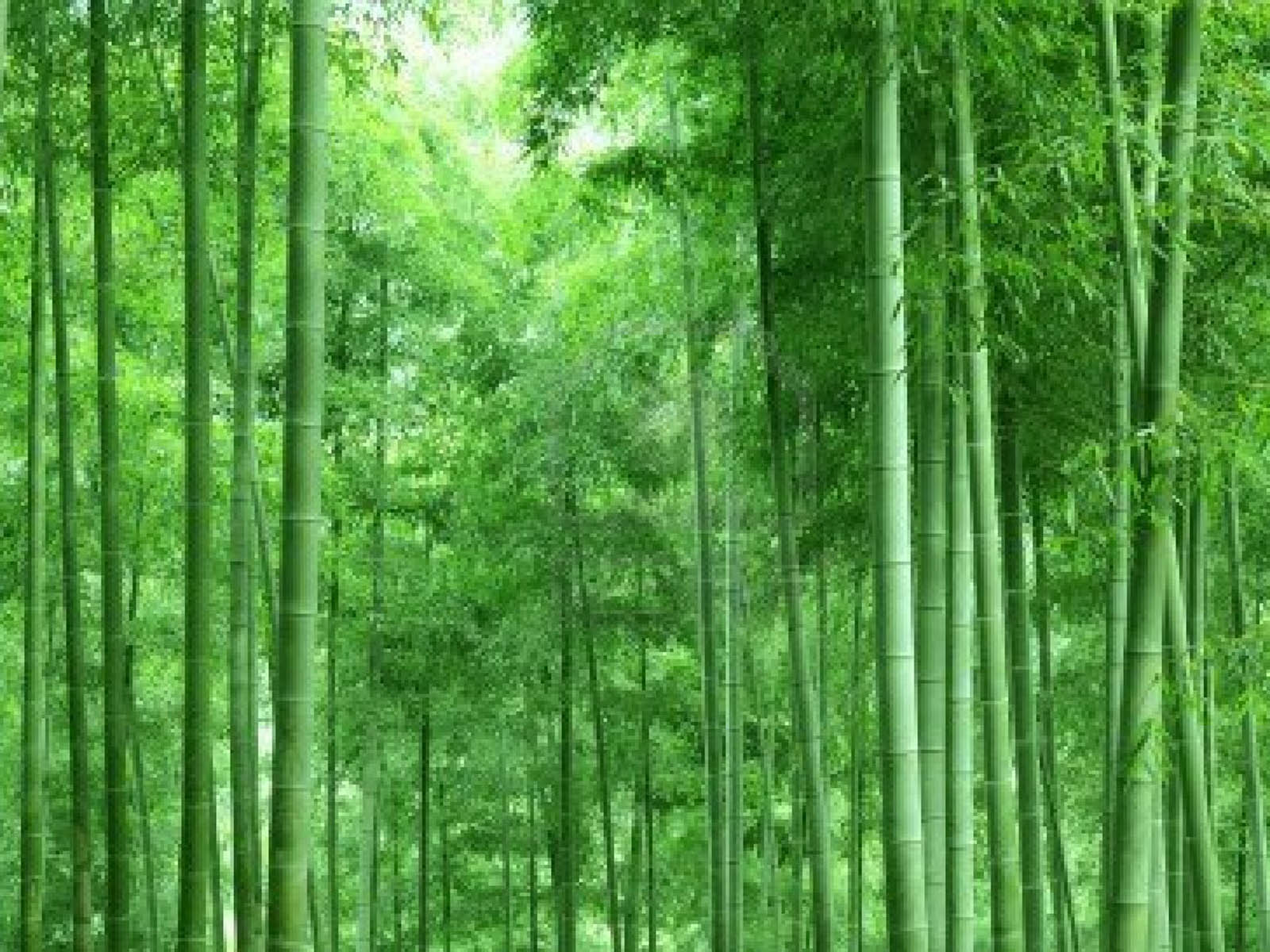 Wallpapers bamboo forest wallpapers for Bamboo wallpaper for walls