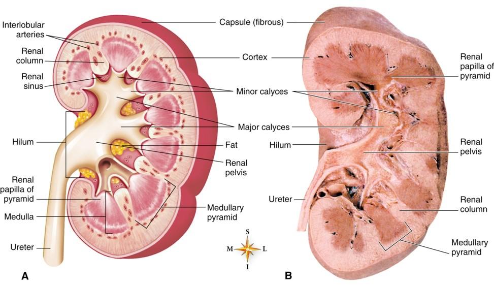Location Of Ureter Diagram