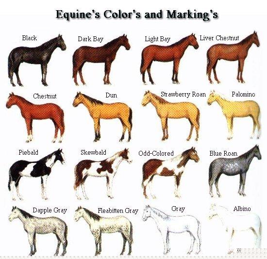 Coat Color Genetics in Horses