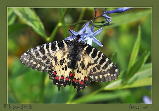 orman fisto kelebeği dişi birey fotoğrafı
