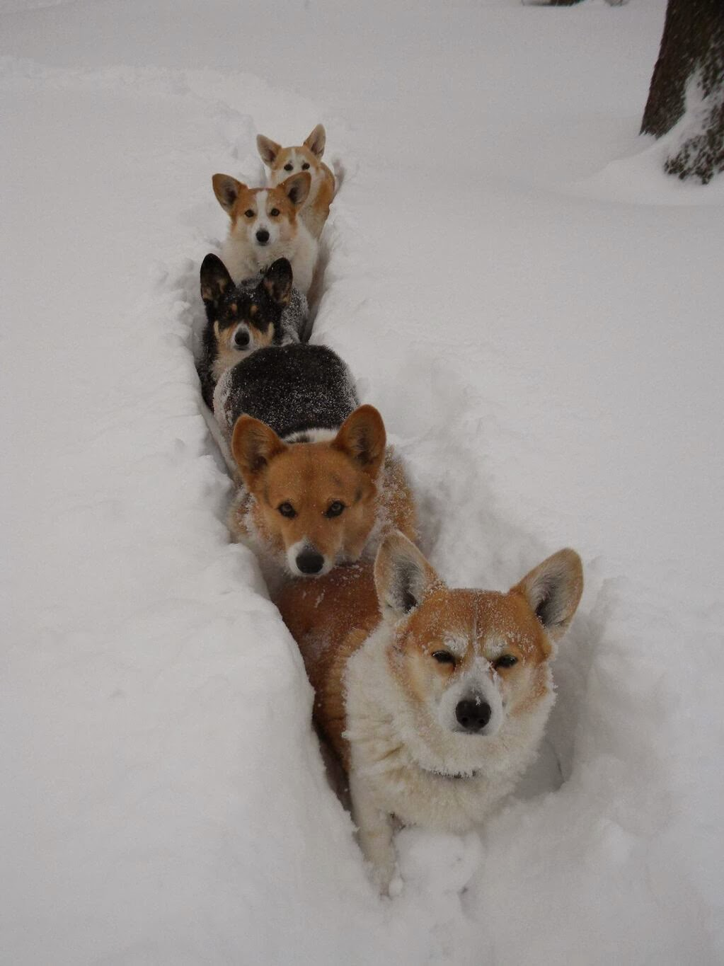 Cute dogs - part 4 (50 pics), dog pictures, pack of corgis playing in snow