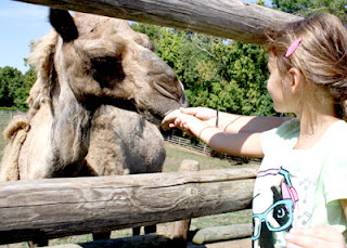 It was fun to watch this camel. He has learned to catch food that visitors throw into his mouth. Tessa's aim was a little lot off, so she feed him the old fashioned way.