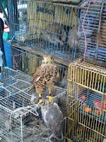 Alap-alap Sapi (Falco moluccensis)