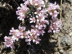Hormathophylla purpurea