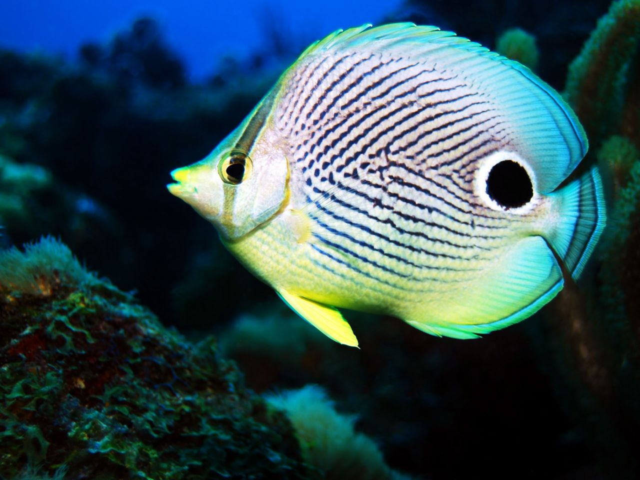 Butterfly fish animal wildlife for Saltwater reef fish