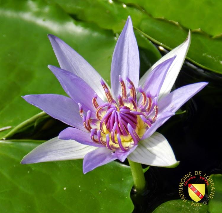 VILLERS-LES-NANCY (54) - Les serres du jardin botanique du Montet-Fleur de nymphéas violette