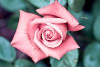 foto trandafiri