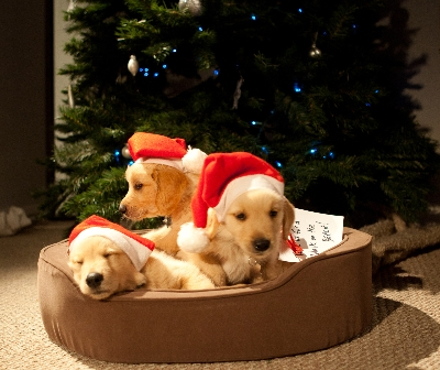 with a little help of three lovable pups its sure to be a christmas to remember - Golden Christmas 3