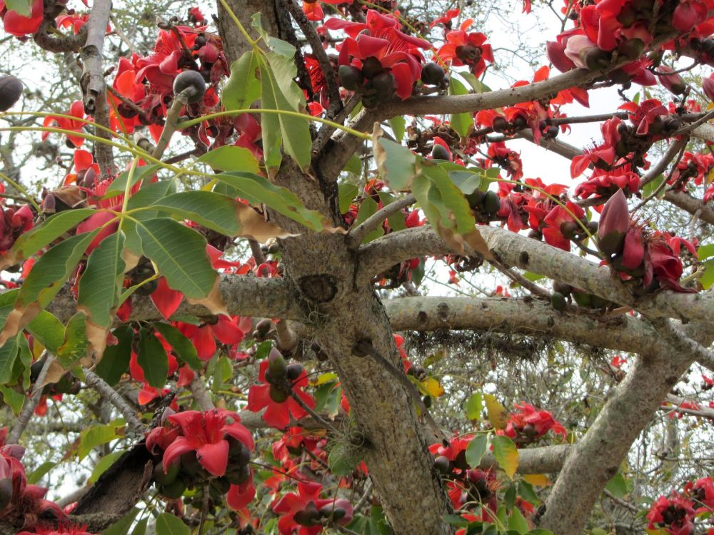 Arunachala land silk cotton tree flowers in full bloom mightylinksfo