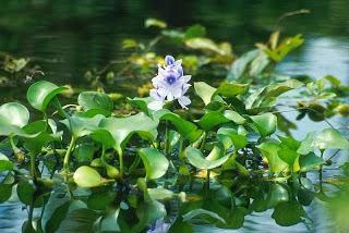 Contoh Tumbuhan yang Hidup di darat dan air