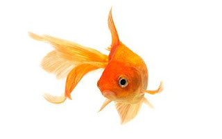 Goldfish all about Carassius auratus auratus the goldfish article its like ornamental fish for aquarium