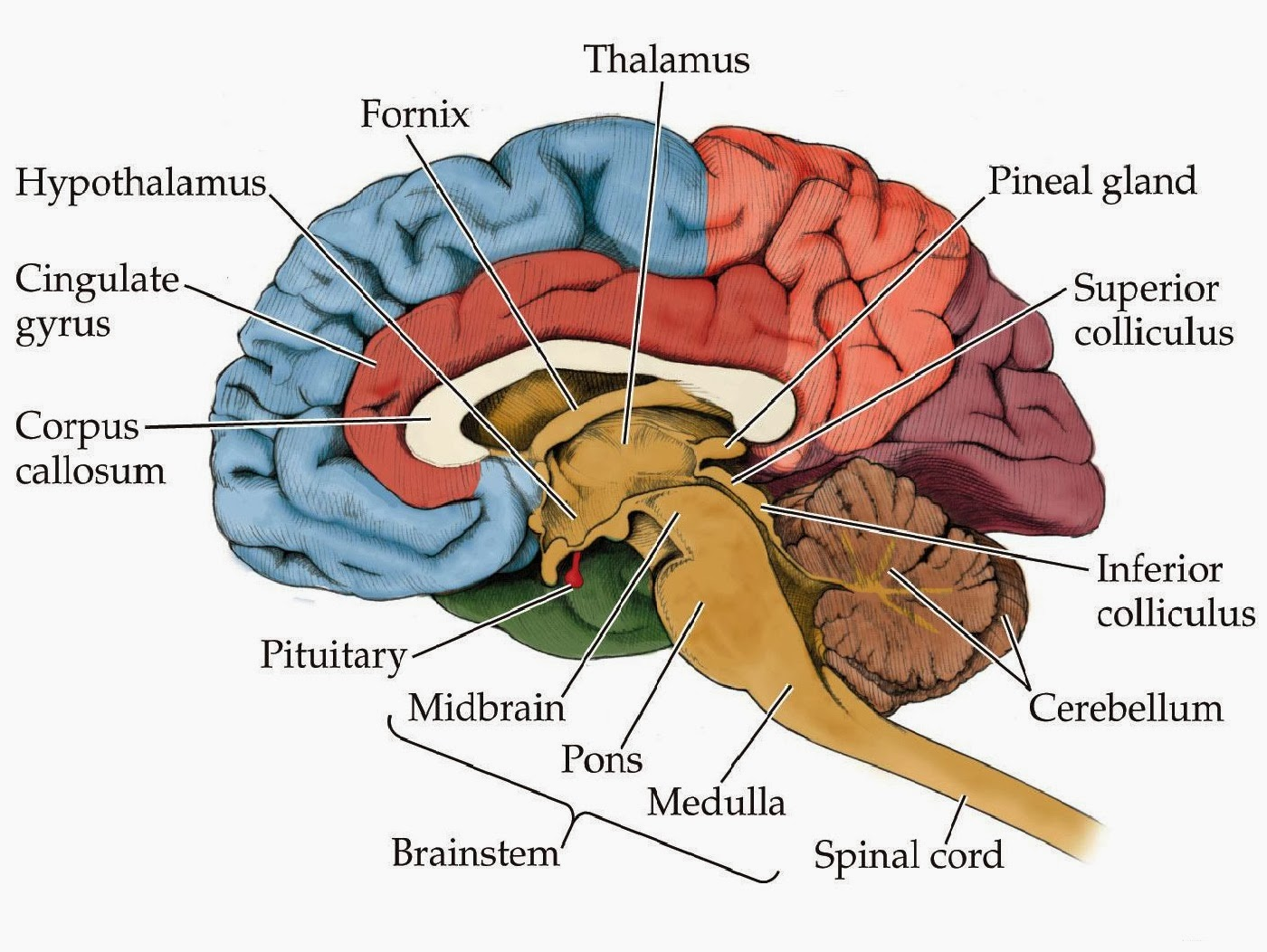 how to remember basal ganglia