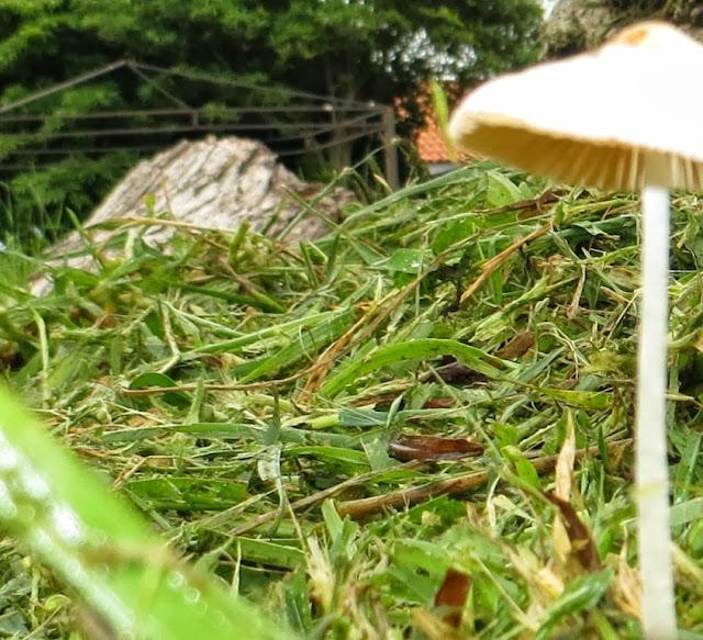 Ampliação Fotografia Macro de Cogumelo que nasceu entre a relva de grama cortada