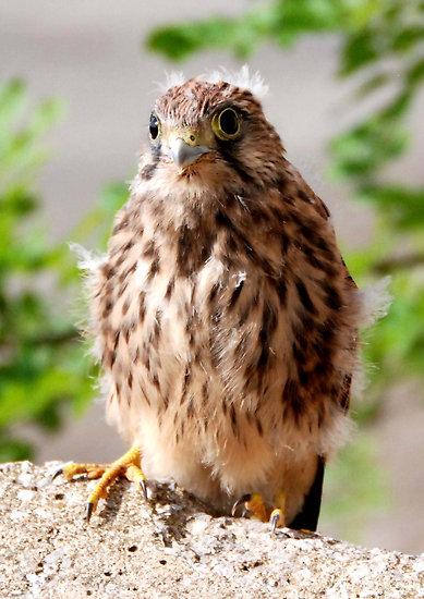 Baby sparrow hawk - photo#2