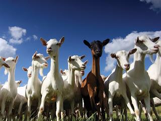 goats-large.jpg
