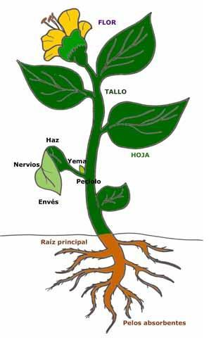 Agricultura biol gica mofologia y fisiologia de las plantas for Imagenes de las partes del arbol