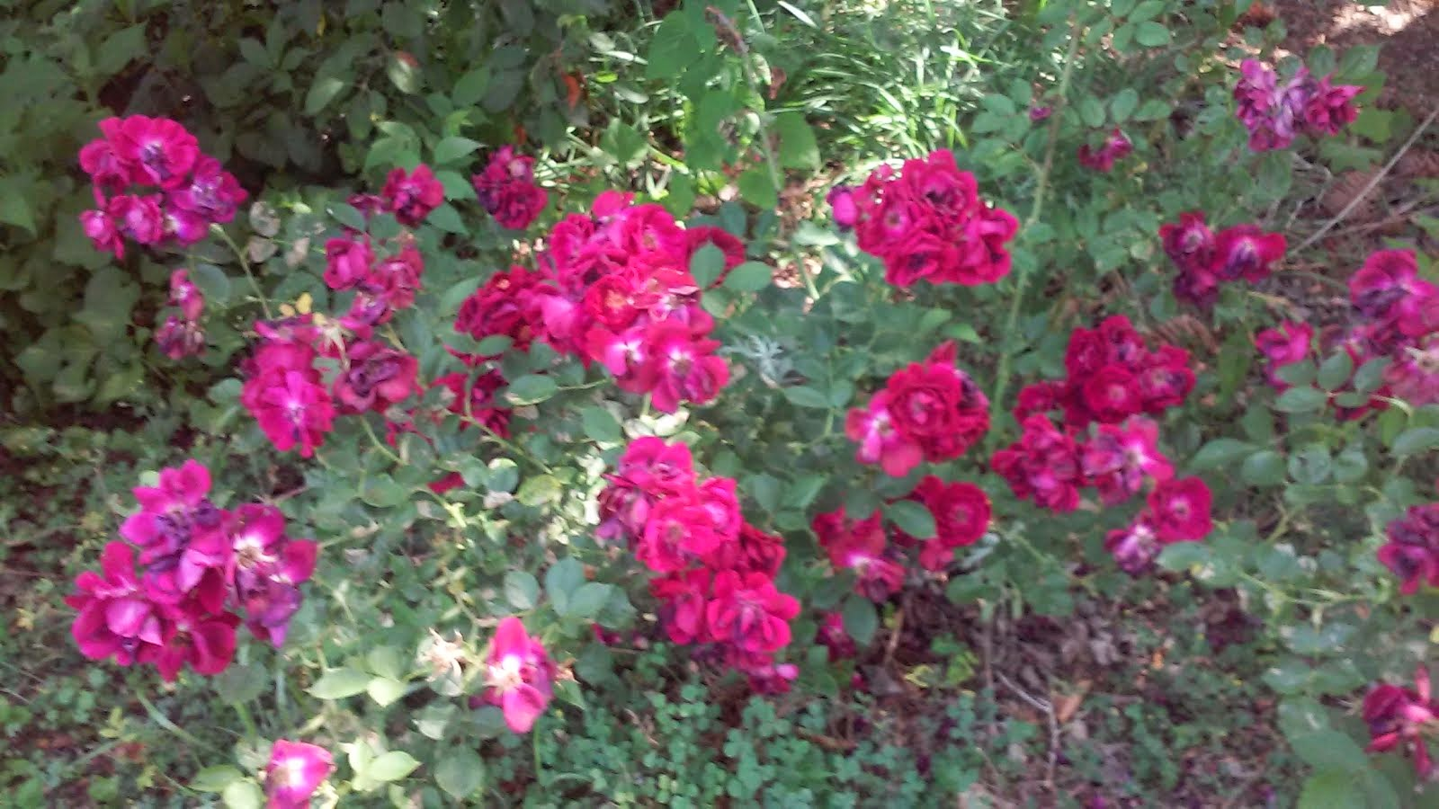 New Rose Bush