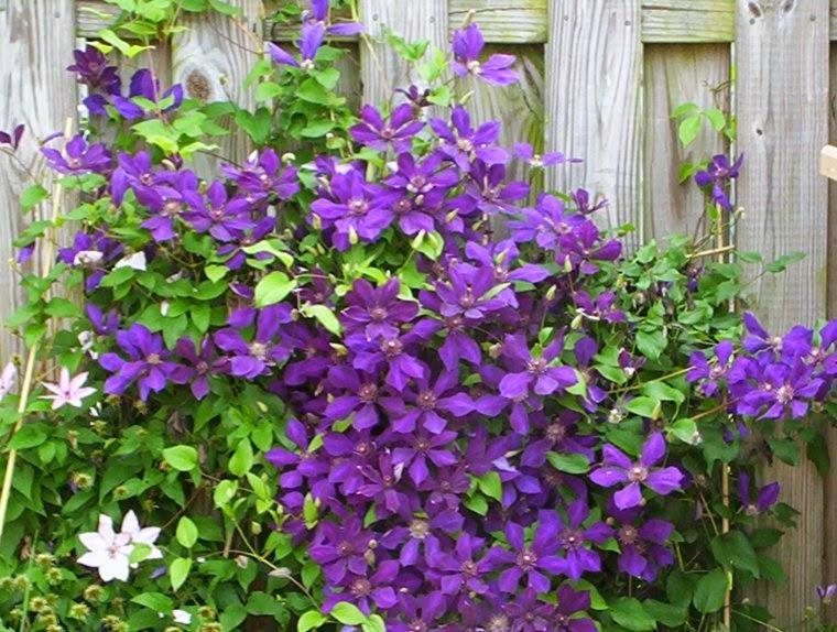 Arte y jardiner a clematides cuidados y cultivo - Tipos de plantas y sus cuidados ...