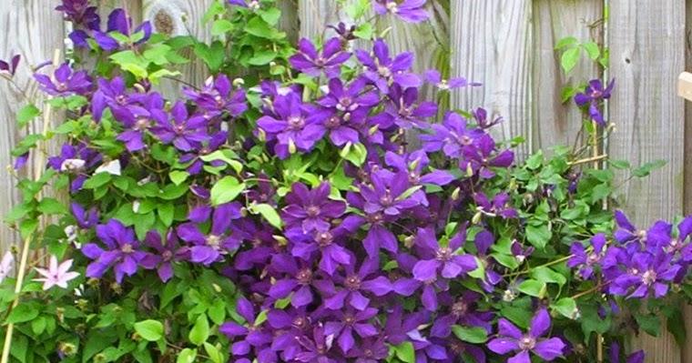 Arte y jardiner a dise o de jardines clematides cuidados for Diseno de jardines 3d 7 0 keygen