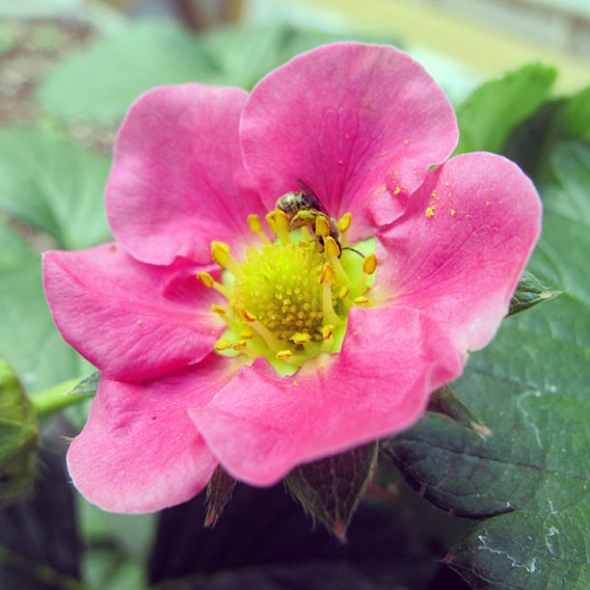 bee pollinating strawberry plant