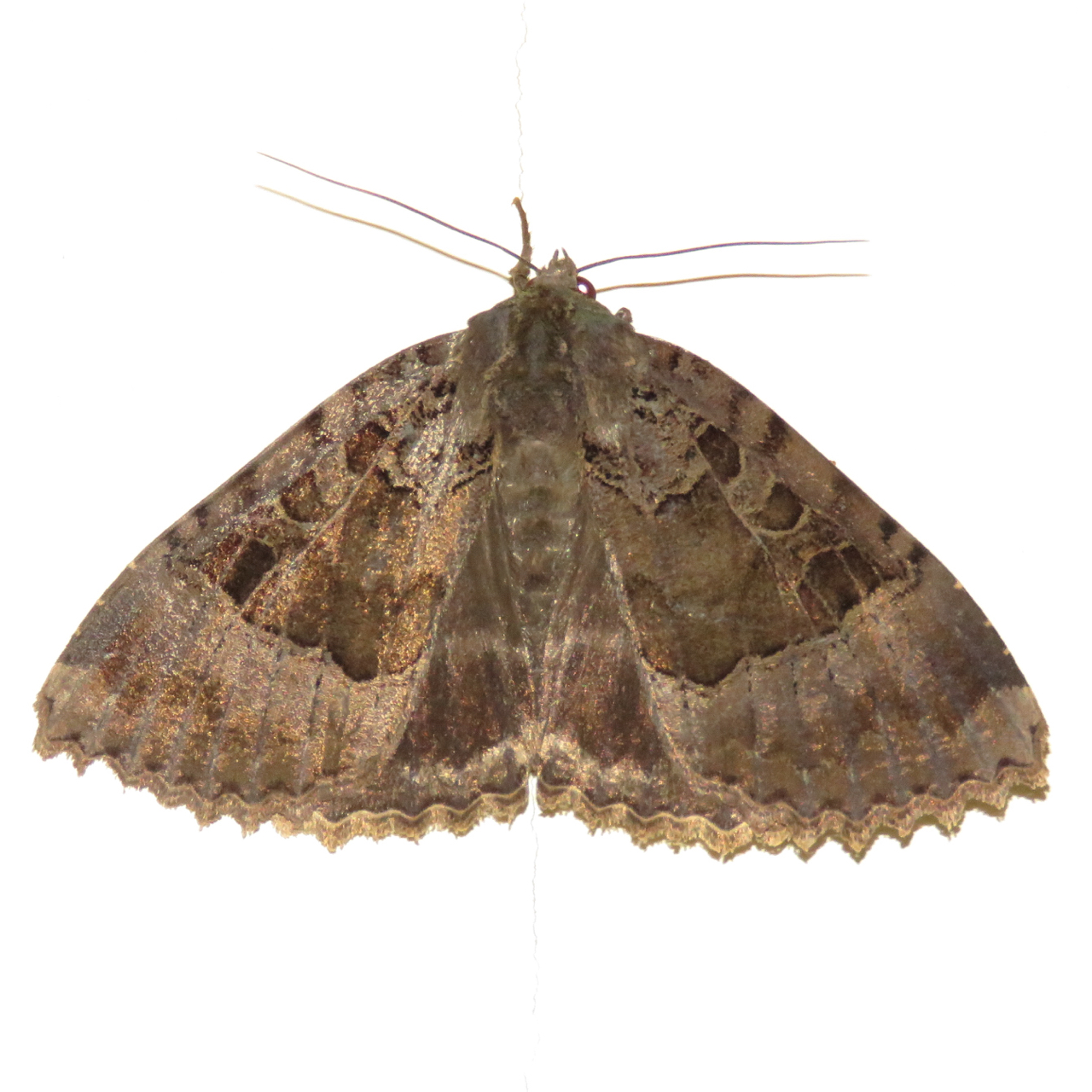 Small Moths In Bedroom Bugblog July 2015