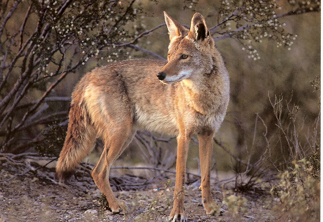 animals wallpapers coyote