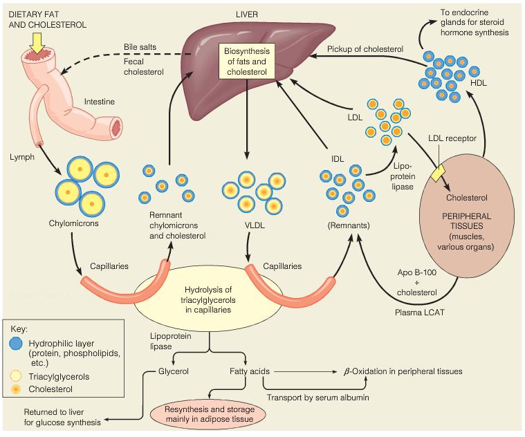 cholesterol sythesis