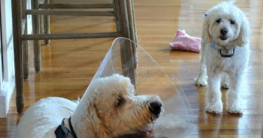Give Dog Zoloft