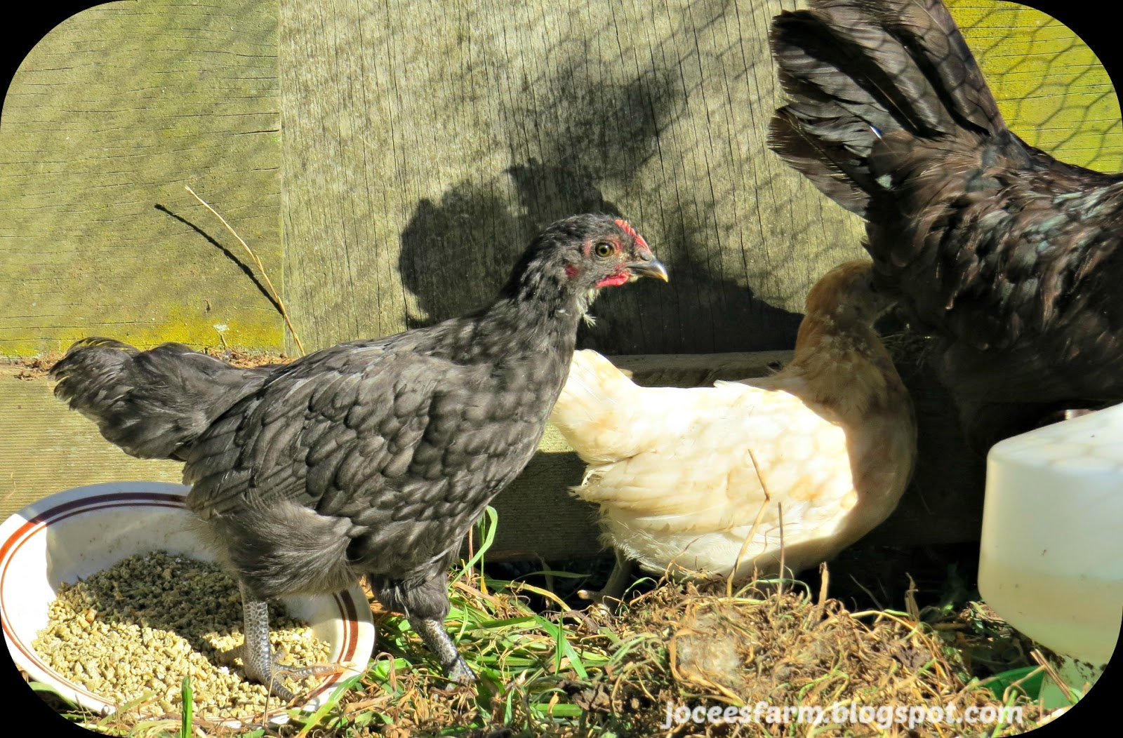 Chicks  @  joceesfarm.blogspot.com