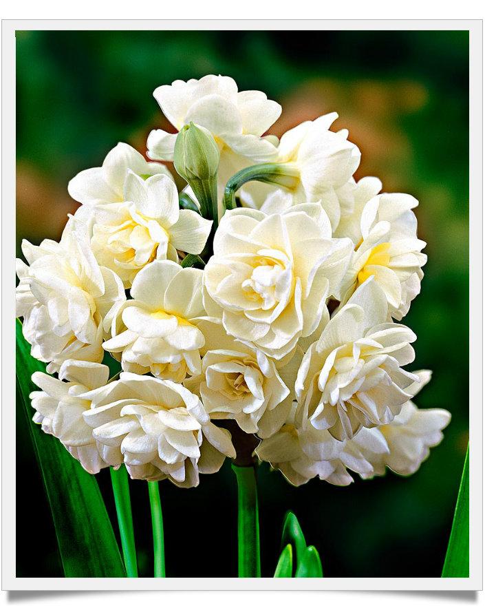 Narciso Erlicheer daffodil, buona serata e buona notte dans fiori e piante NErlicheer-framed