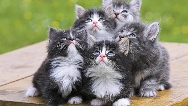 17 hd cute kitty wallpapers1