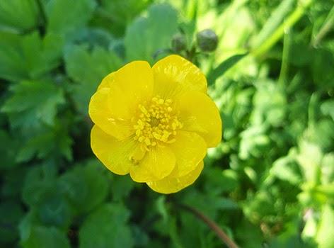 Botón de oro, hierba belida (Ranunculus acris) flor amarilla