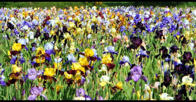 Le retour chez canelle jardin d 39 iris for Aubade jardin d iris