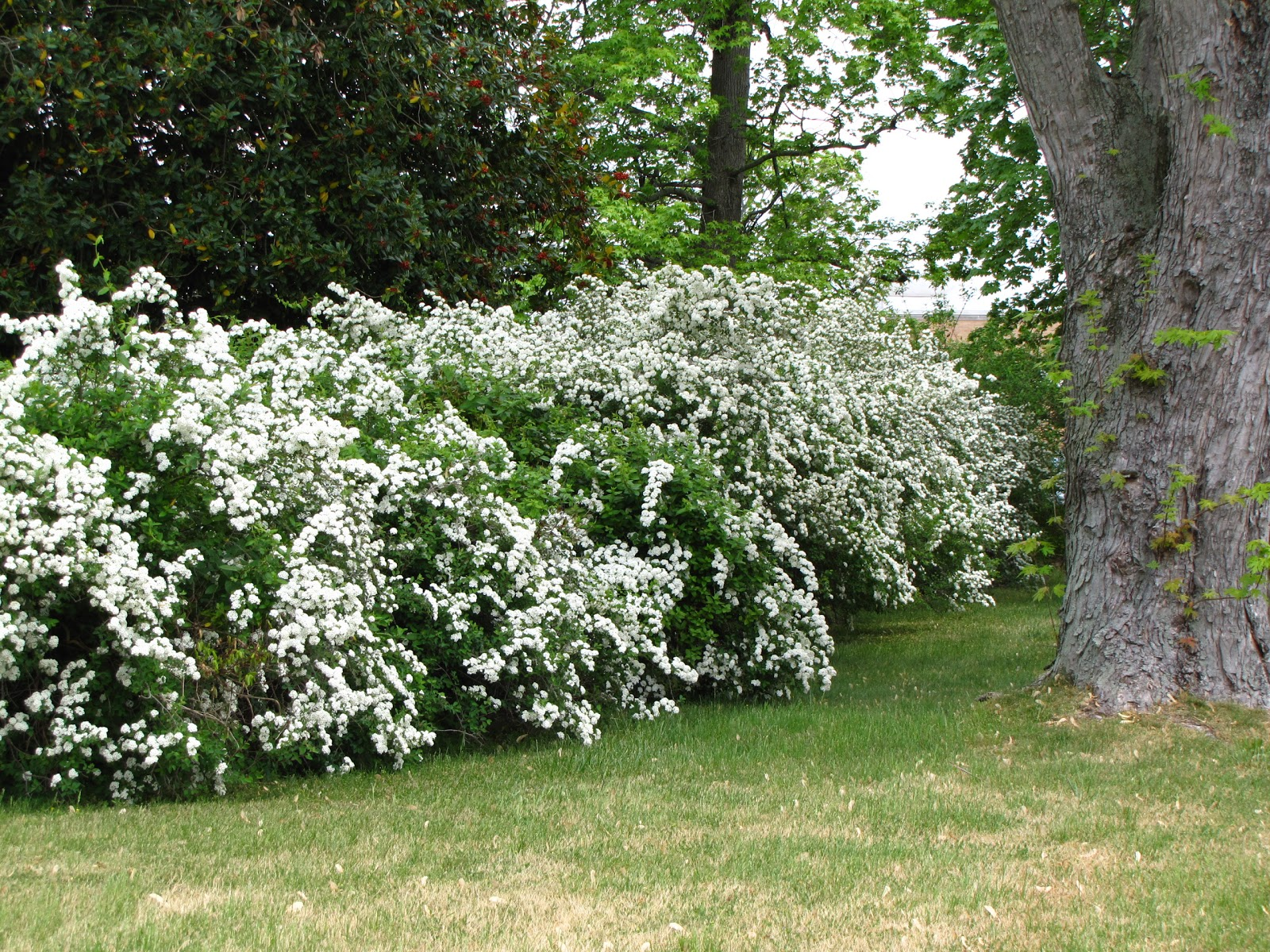 Landscaping: Ideas For Planting Under Hedges