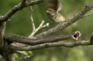 Gloydius halys, la serpiente caza pájaros