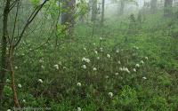http://plantsgallery.blogspot.com/2015/10/bagno-zwyczajne-rhododendron-tomentosum.html
