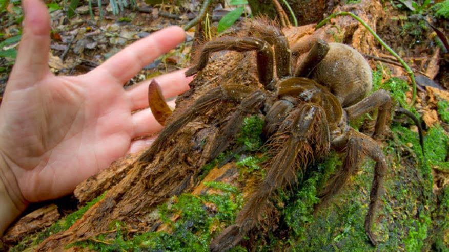 Goliath Encounter: Puppy-Sized Spider Surprises Scientist in Rainforest