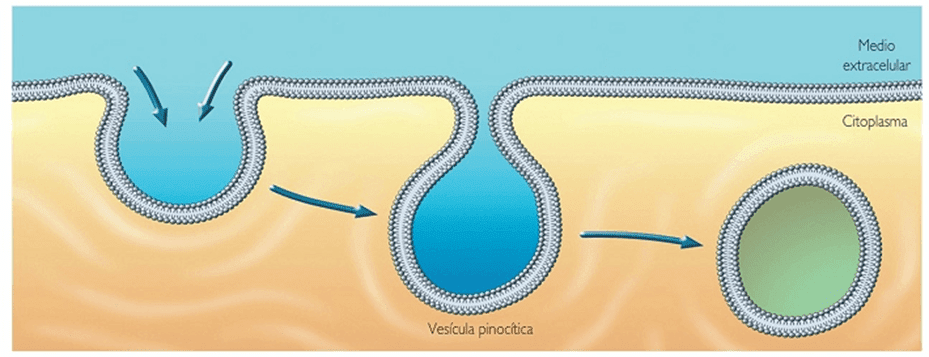 Pinocitosis