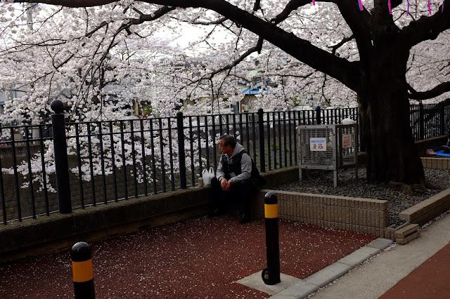 Sakura hanami gumyoji yokohama japan