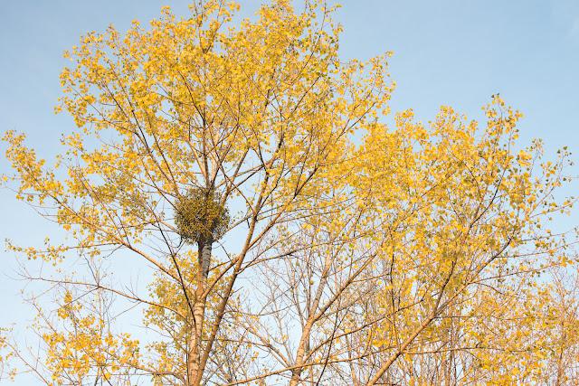 Jesienna fotografia krajobrazu. Żółte drzewa. Ruda Śląska. fot. Łukasz Cyrus, Katowice